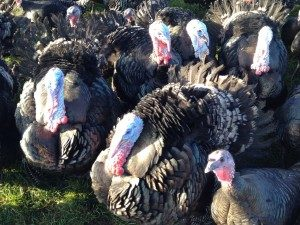 Turkeys in November, fed on fresh herbs and a locally produced feed of additive-free cereal